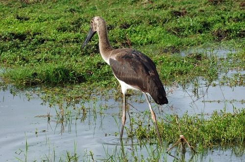 Saddle-billed Stork - Ephippiorhynchus senegalensis - Ngorongoro Tanzania - D2X 2017-11-11-067CE.jpg
