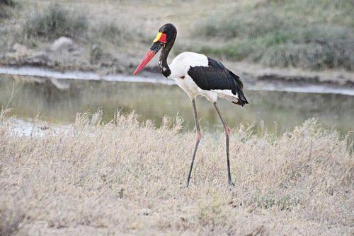 Saddle-billed Stork - Ephippiorhynchus senegalensis - Serengeti NP D800 310 11-16-14E.jpg