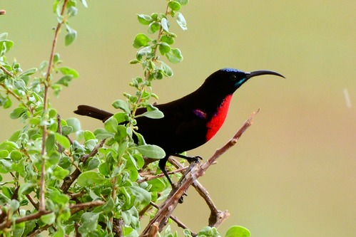 Scarlet-chested Sunbird - Chalcomitra senegalensis - Samburu NP Kenya D800 2017-10-24-322CE.jpg