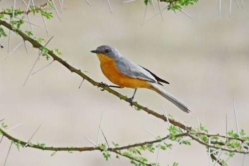 Silverbird - Empidornis semipartitus - Tarengire NP Tanzania D800 290 11-20-14CE.jpg