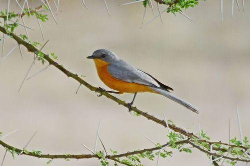 Silverbird - Empidornis semipartitus - Tarengire NP Tanzania D800 293 11-20-14CE.jpg