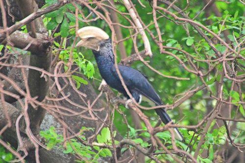 Silvery-cheeked Hornbill - Bycanistes brevis - Lake Manyara NP D800 025 11-13-14CE.jpg