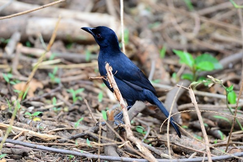 Slate-colored Boubou - Laniarius funebris - Lake Manyara NP - D800 2017-11-13-392CE.jpg