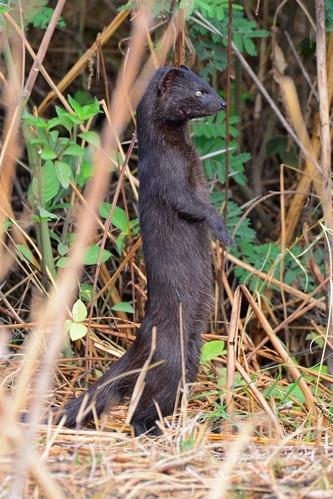 Slender mongoose - Herpestes sanguineus - Ngorongoro NP Tanzania - D800 2017-11-11-154CE.jpg