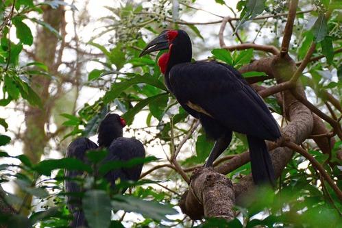 Southern Ground Hornbill - Bucorvus leadbeateri - Lake Manyara NP - D800 2017-11-13-039CE.jpg