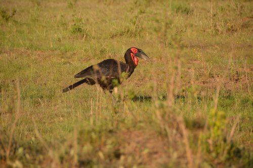 Southern Ground Hornbill - Bucorvus leadbeateri - Masai Mara NP - D5200 618 11-7-14.jpg