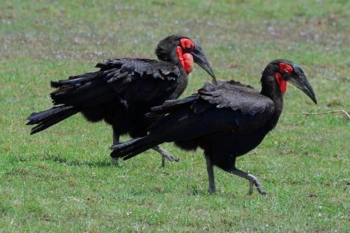 Southern Ground Hornbill - Bucorvus leadbeateri - Masai Mara NP - D800 2017-11-04-098CE.jpg
