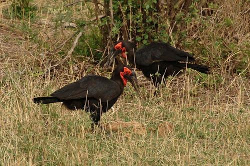 Southern Ground Hornbill - Bucorvus leadbeateri - Tarengire NP Tanzania D2X 144 11-20-14CE.jpg