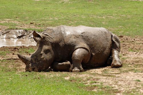 Southern White Rhino - Ceratotherium simum simum - Ol Pejeta Kenya - D2X2017-10-28-592CE.jpg