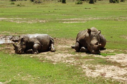 Southern White Rhino - Ceratotherium simum simum - Ol Pejeta Kenya - D2X2017-10-28-594CE.jpg