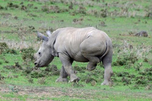 Southern White Rhino - Ceratotherium simum simum - Ol Pejeta Kenya - D800 2017-10-28-747CE.jpg