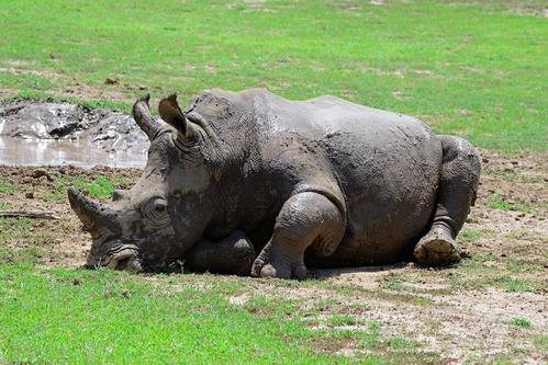 Southern White Rhino - Ceratotherium simum simum - Ol Pejeta Kenya - D800 2017-10-28-757CE.jpg