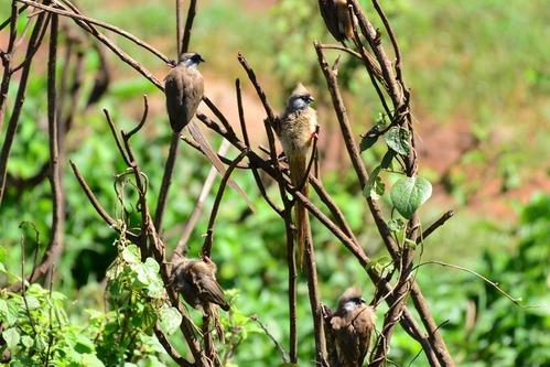Speckled Mousebird - Colius striatus - Aberdares NP - D800 2017-10-22-116CE.jpg