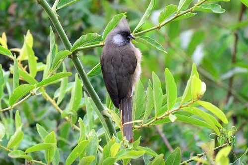 Speckled Mousebird - Colius striatus - Ngorongoro NP Tanzania-  D8002017-11-11-575CE.jpg