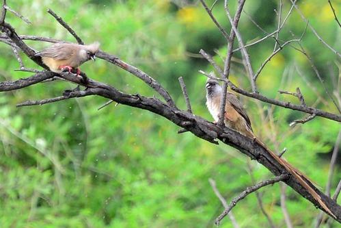 Speckled Mousebird - Colius striatus - Spekes Bay Kenya - D800 2017-11-05-320CE.jpg