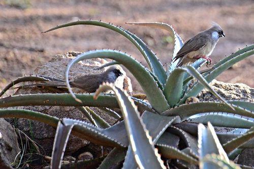 Speckled Mousebird - Colius striatus - Tarengire NP Tanzania D800 025 11-22-14CE.jpg