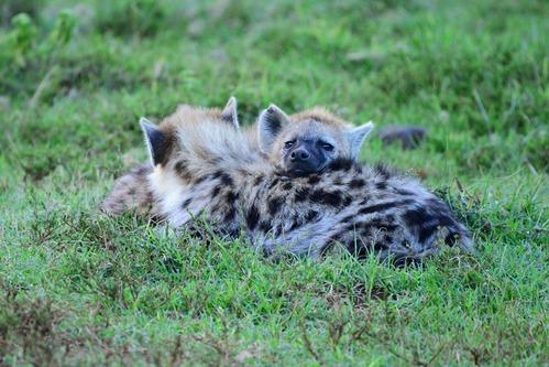 Spotted Hyena - Crocuta crocuta - Aberdares NP - D800 2017-10-22-522CE.jpg