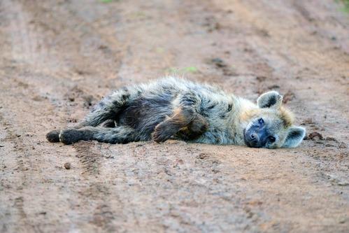 Spotted Hyena - Crocuta crocuta - Aberdares NP - D800 2017-10-22-529CE.jpg