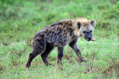 Spotted Hyena - Crocuta crocuta - Aberdares NP - D800 2017-10-22-539CE.jpg