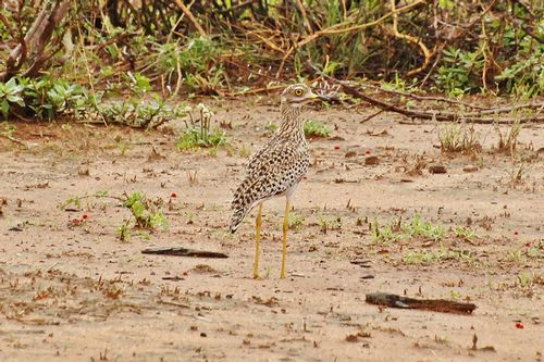 Spotted Thick-knee -  Burhinus capensis - Tarengire NP Tanzania D2X 021 11-21-14CE.jpg