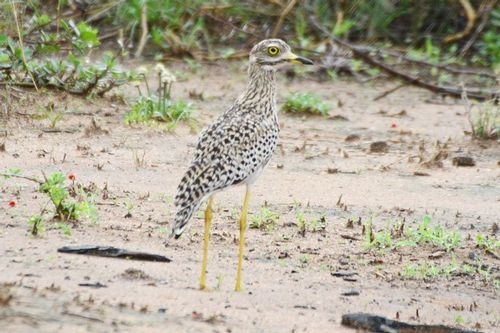 Spotted Thick-knee - Burhinus capensis - Tarengire NP Tanzania D800 073 11-21-14CE.jpg