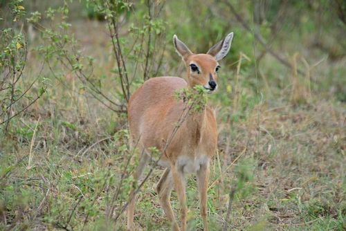 Steenbok - Raphicerus campestris - Serengeti NP Tanzania D800 185 11-15-14E.jpg