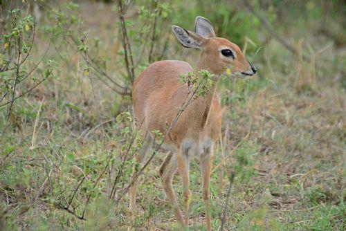 Steenbok - Raphicerus campestris - Serengeti NP Tanzania D800 188 11-15-14E.jpg