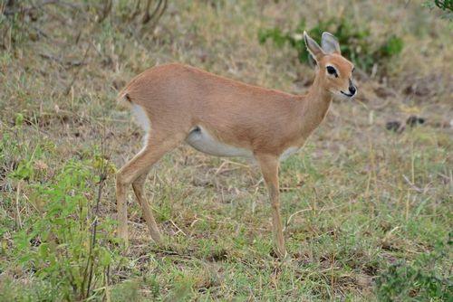 Steenbok - Raphicerus campestris - Serengeti NP Tanzania D800 194 11-15-14E.jpg