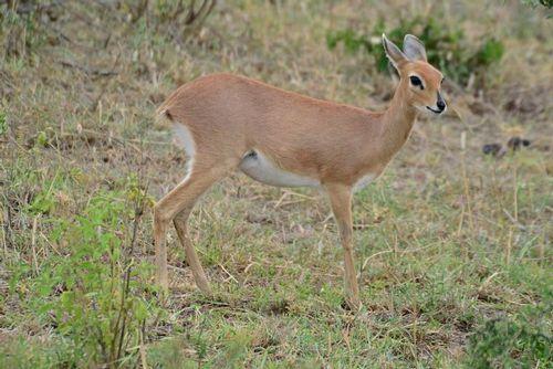 Steenbok - Raphicerus campestris - Serengeti NP Tanzania D800 195 11-15-14E.jpg