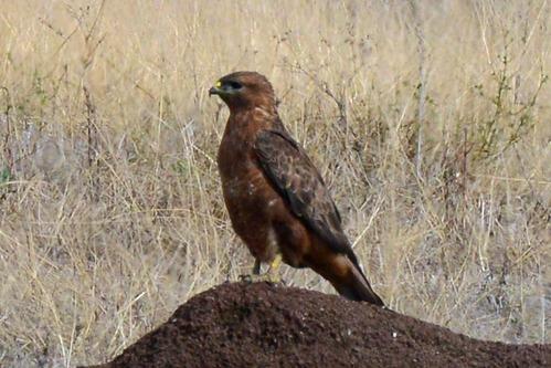 Steppe Buzzard - Buteo buteo vulpinus - Ngorongoro NP Tanzania - D800 2017-11-10-137CE.jpg