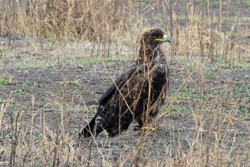 Steppe Eagle - Aquila nipalensis - Ngorongoro NP Tanzania D800 2017-11-11-104CE.jpg