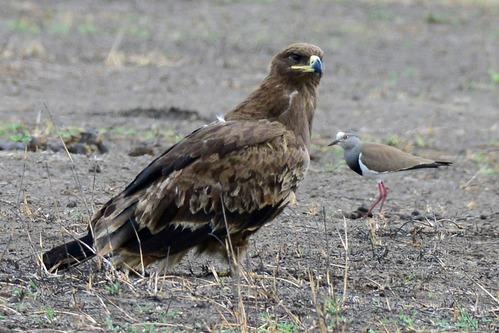 Steppe Eagle - Aquila nipalensis - Ngorongoro NP Tanzania D800 2017-11-11-115CE.jpg