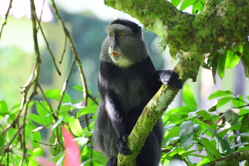Stuhlmanns Blue Monkey - Cercopithecus mitis stuhlmanni - Kakamega - D800 2017-10-31-017CE.jpg