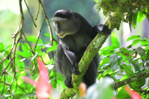 Stuhlmanns Blue Monkey - Cercopithecus mitis stuhlmanni - Kakamega - D800 2017-10-31-019CE.jpg