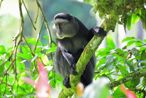 Stuhlmanns Blue Monkey - Cercopithecus mitis stuhlmanni - Kakamega - D800 2017-10-31-020CE.jpg