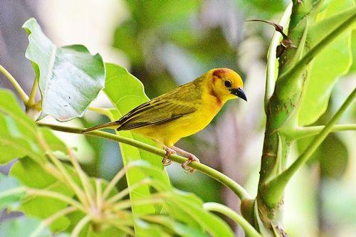 Taveta Golden Weaver - Ploceus castaneiceps - Tsavo NP Kenya D800 014 11-13-14CE.jpg
