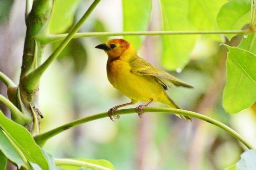 Taveta Golden Weaver - Ploceus castaneiceps - Tsavo NP Kenya D800 016 11-13-14CE.jpg
