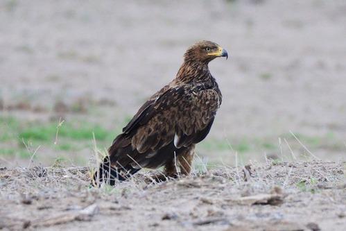 Tawny Eagle - Aquila rapax - Amboseli NP Kenya D800 2017-11-16-075CE.jpg