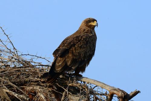 Tawny Eagle - Aquila rapax - Amboseli NP Kenya D800 2017-11-17-005CE.jpg