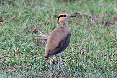 Temmincks courser - Cursorius temminckii - Masai Mara NP Kenya - D800 2017-11-03-296CE.jpg