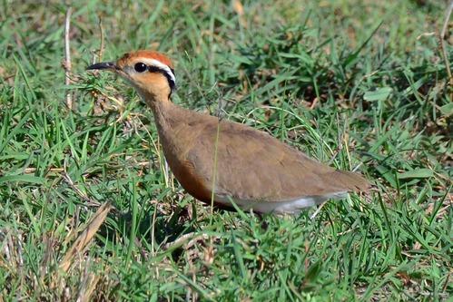 Temmincks courser - Cursorius temminckii - Masai Mara NP Kenya - D800 2017-11-03-300CE.jpg