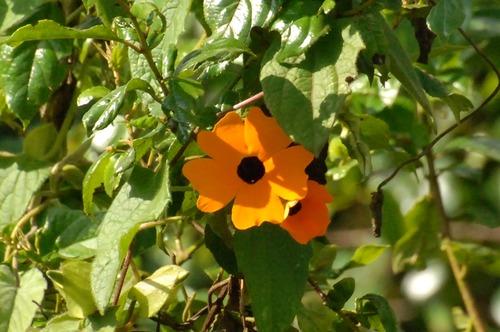Thunbergia alata - Black-eyed Susan vine - Aberdares NP - D2X 2017-10-22-035CE.jpg