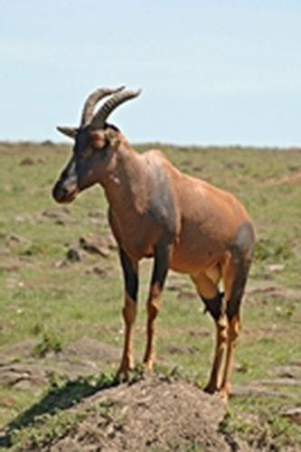 Topi - Damaliscus korrigum - Masai Mara NP Kenya - D2X 144 11-8-14E.jpg