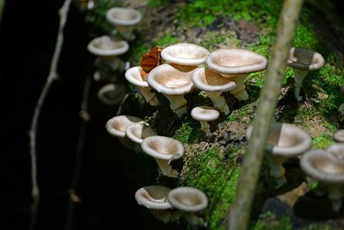 Unidentified Mushrooms - Kakamega NP Kenya - D800 2017-10-31-201CE.jpg