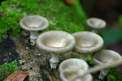 Unidentified Mushrooms - Kakamega NP Kenya - D800 2017-10-31-204CE.jpg