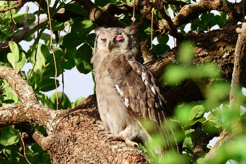 Verreauxs Eagle-Owl - Bubo lacteus - Lake Manyara NP Tanzania - D800 2017-11-13-708CE-bc740.jpg