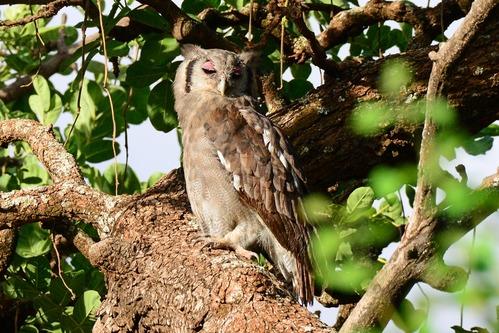 Verreauxs Eagle-Owl - Bubo lacteus - Lake Manyara NP Tanzania - D800 2017-11-13-710CE-dfa30.jpg