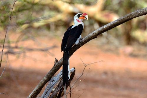 Von der Deckens Hornbill - Tockus deckeni - Samburu NP Kenya D800 2017-10-24-235CE.jpg