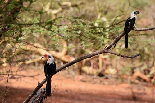 Von der Deckens Hornbill - Tockus deckeni - Samburu NP Kenya D800 2017-10-24-242CE.jpg
