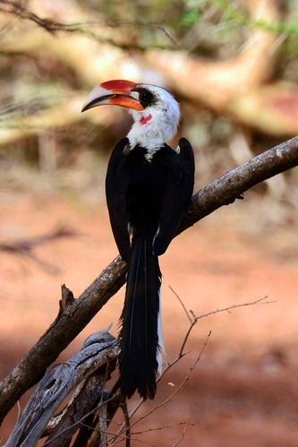 Von der Deckens Hornbill - Tockus deckeni - Samburu NP Kenya D800 2017-10-24-242CE2.jpg